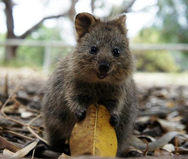 Marsupial Quokka De quokka is he...