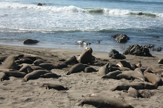 Elephant Seals near San Simeon - Recommended Stop for Big Sur Road Trip