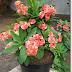 Teknik Perbanyakan Euphorbia