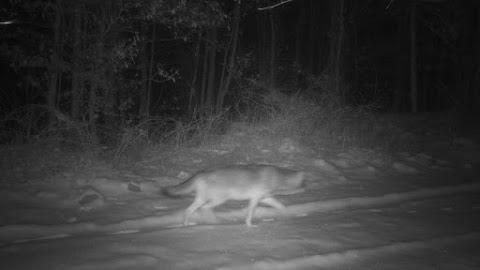 Farkast észleltek a Börzsönyben