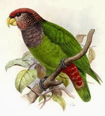 Plum crowned parrot