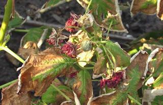 Заболевание Бриллиантовой малины ржавчина