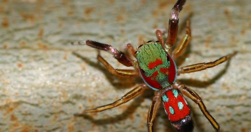 Colorful jumping spider - photo#44