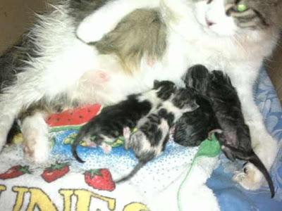 gatitos-amamantando-calostro-madre