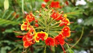 Memanfaatkan Bunga Merak Sebagai Obat yang Berkhasiat dapat Mengobati Berbagai Penyakit