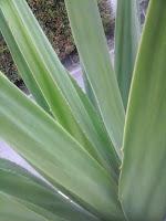 daun agave