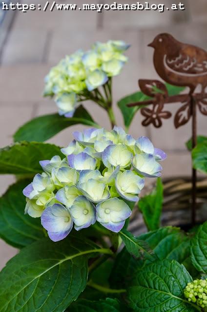 Blaue Hortensie im Topf