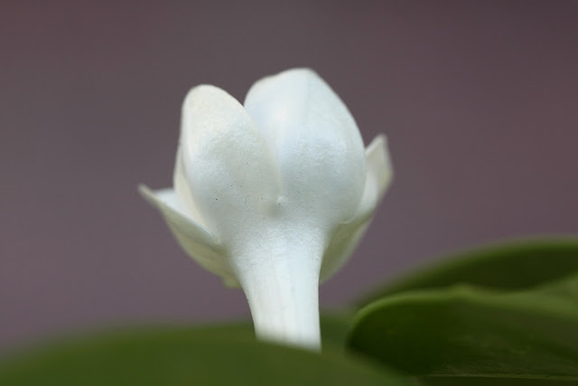 Stephanotis floribunda (Madagascar jasmine) open flower rear