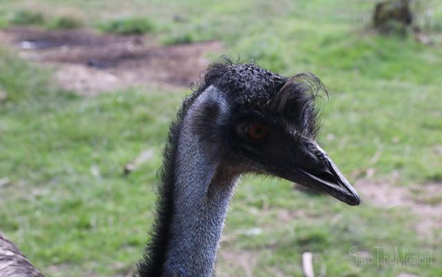 Hunsrück Wildpark Rheinböllen, Emu