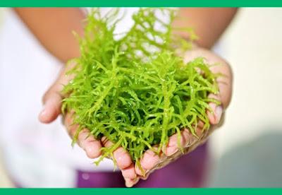 Khasiat Rumput Laut untuk Kecantikan Kulit dan Tubuh yang Terbukti Aman juga Bermanfaat dengan Baik