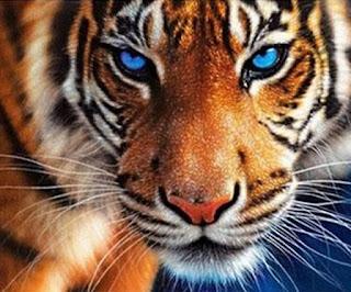 Hoje, quatro de outubro, é o dia mundial dos animais, por isso, aqui vai: Close da cara de um tigre com pelagem cor de caramelo, manchas brancas e riscas em preto, na testa, bochechas e junto à boca, o focinho rosado é ladeado por longos bigodes brancos que se destacam na pelagem densa e curta. Os olhos azul turquesa como um céu de verão, redondos e contornados em preto estão focados diretamente para nós.
