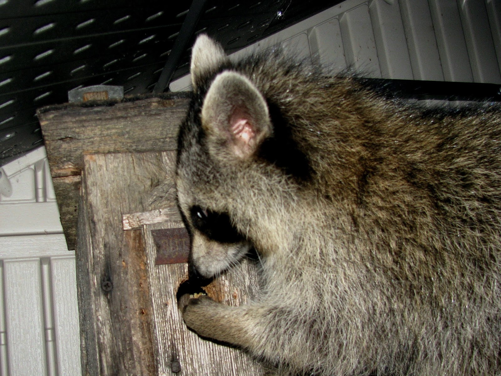 Rob and the Animals: The Little Raccoon That Could