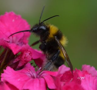 Hummel auf Futtersuche, bumblebee search for food.