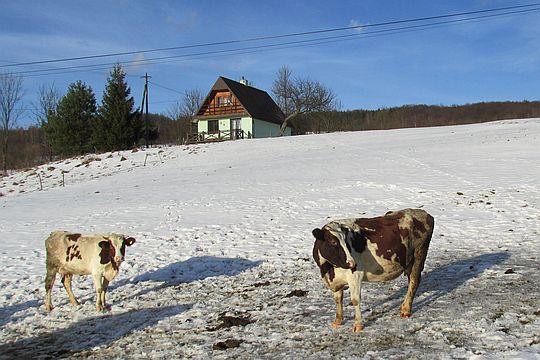 A przy drodze pasą się krowy.