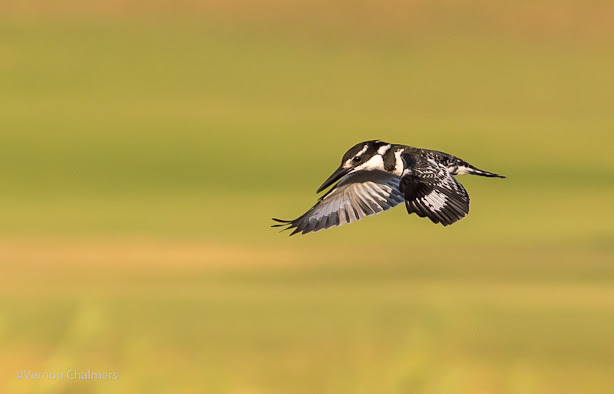 Birds in Flight Photography with Canon EOS 6D /  EF 70-300mm f/4-5.6L IS USM Lens