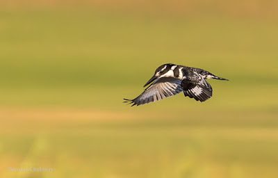 Starting out with Birds in Flight Photography - Pied Kingfisher: Canon EOS 6D / EF 70-300mm f/4-5.6L IS USM Lens