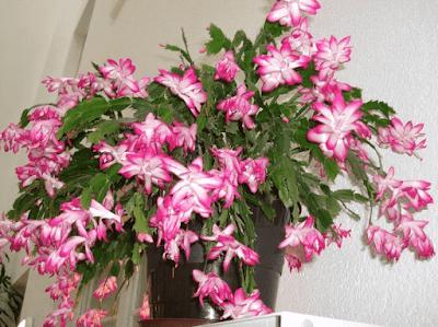 Zygocactus / Schlumbergera Truncata