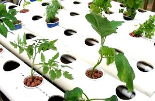 Menanam dan merawat tanaman hidroponik untuk pemula