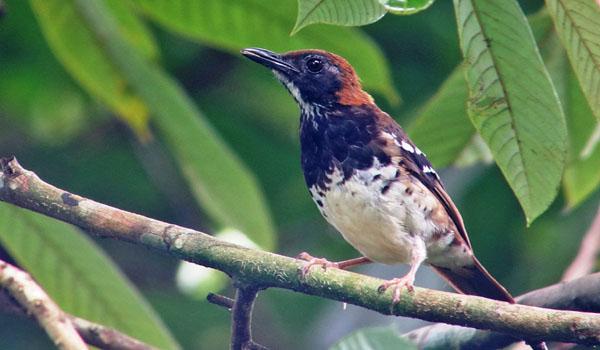 ciri jenis burung anis