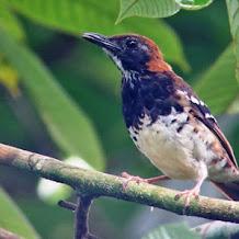 Jenis Dan Ciri Ciri Burung Anis ( Punglor )