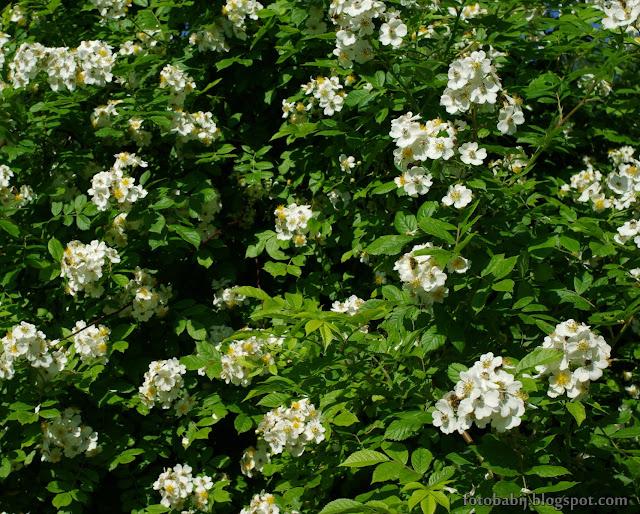 http://fotobabij.blogspot.com/2016/08/roza-wielokwiatowa-kwiatostany-rosa.html