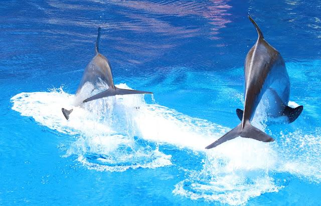 Dolphin, aquarium, Animals, Dolphin Encounter, Dolphin Encounter Roatan Institute for Marine Sciences,