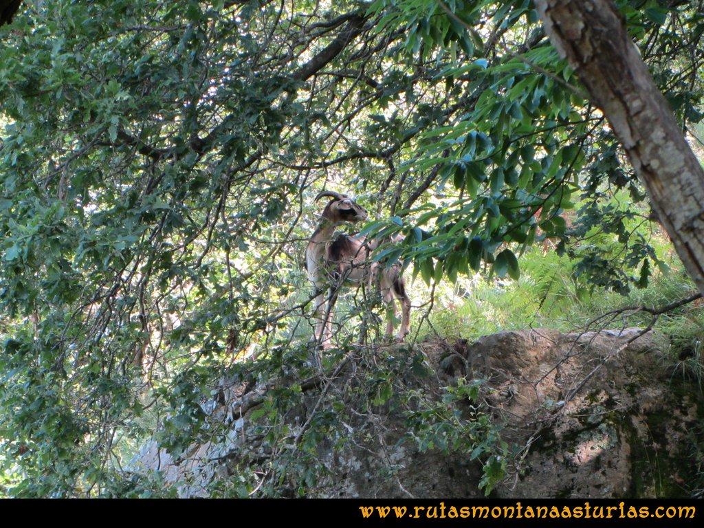 Ruta Cascadas Guanga, Castiello, el Oso: Cabra en el camino