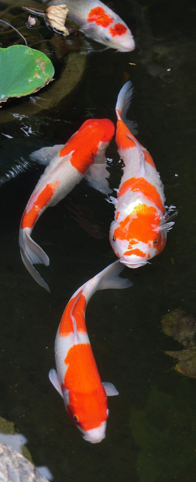 Picture of colorful koi fish at a pond.