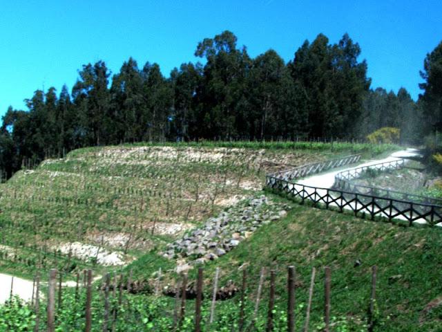 plantação de vinhas