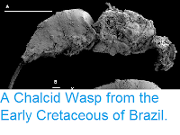 http://sciencythoughts.blogspot.co.uk/2013/08/a-chalcid-wasp-from-early-cretaceous-of.html