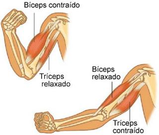 Hipertrofia Muscular - Bíceps e Tríceps