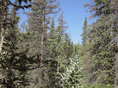 subalpine forest, Old Fall River Road