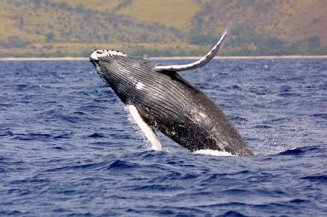 Όταν η φάλαινα Χαρούλα επισκέφθηκε το Τολό (βίντεο)