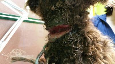 herida-cuello-perro