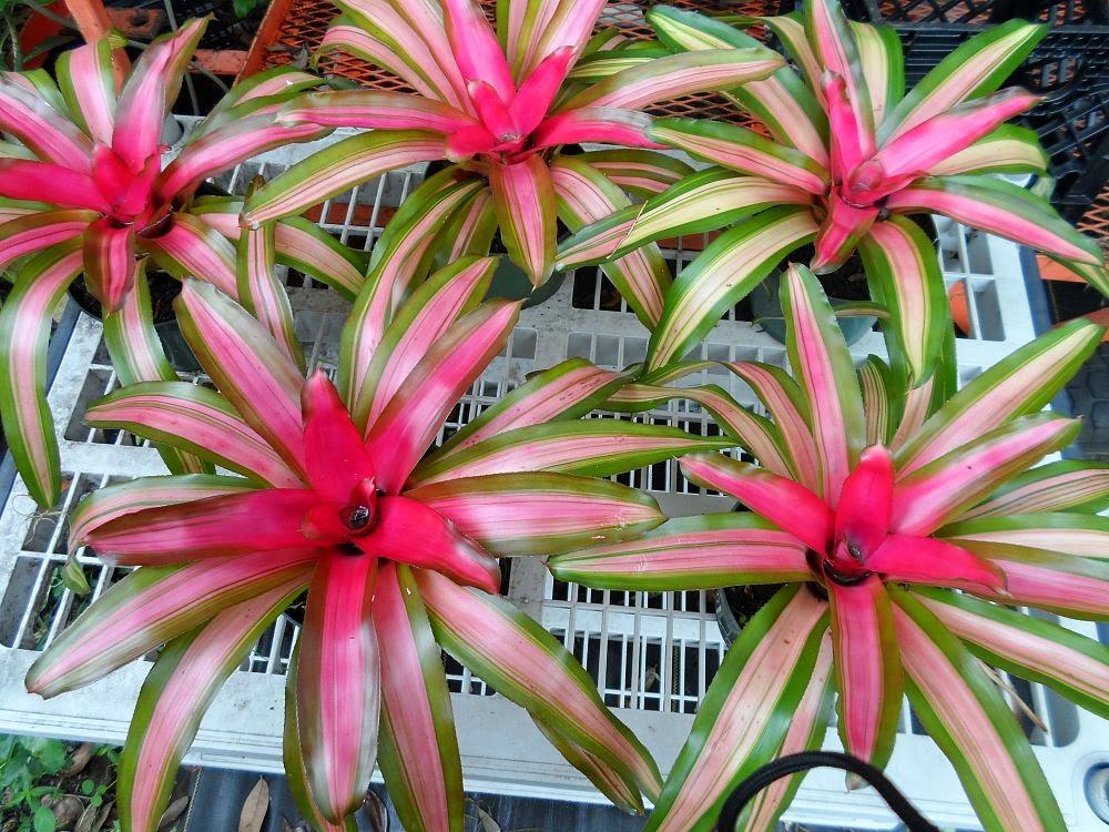 tukang taman menjual tanaman bromelia tri color
