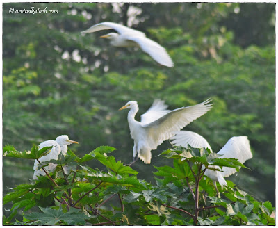 Group of Cattle Egret Birds