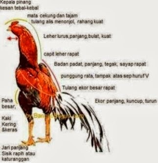 ayam laga aduan