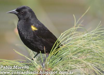 """alt=""""varillero alas amarillas,Agelasticus thilius,aves de Mendoza)"""