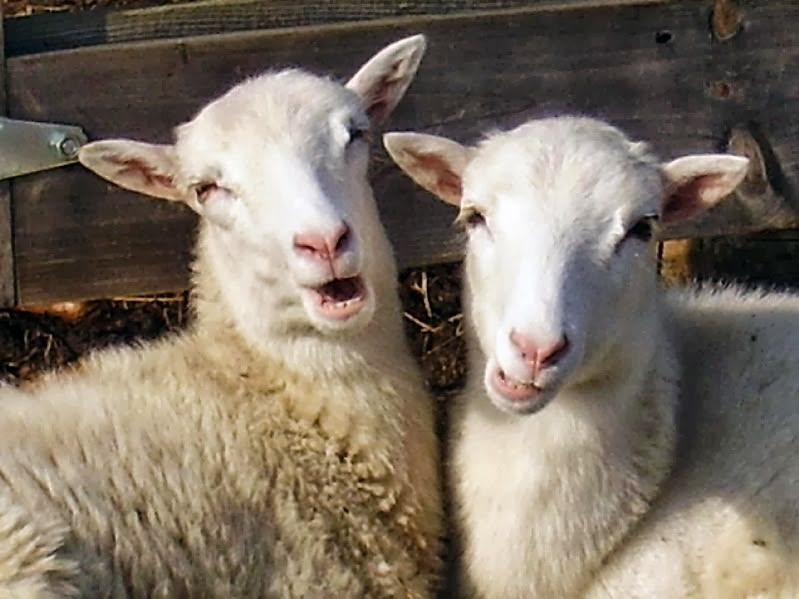Funny Cute Lambs | Interesting Funny Pictures | Funny And ...