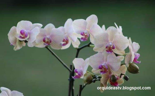 Como Cultivar Orquídeas - Guia Completo Para Iniciantes