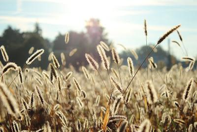 https://pixabay.com/pl/ro%C5%9Blin-pole-sunshine-lato-trawa-691414/