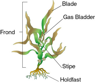 Boat Anatomy Diagram Lincoln Sa 200 F163 Wiring Simply Science: Algae Vs. Plants