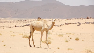 Sudan has the second largest camel population in the world