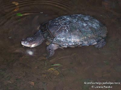 tortugas en extincion de Argentina Tortuga canaleta chaqueña Acanthochelys pallidipectoris