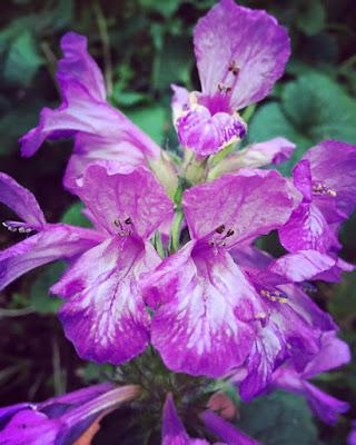 huulimaiset kukat terttumainen kukinto jalopähkämö jalopillike