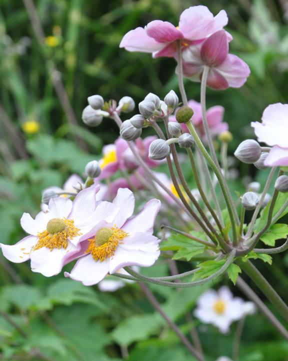 three dogs in a garden the case for and against japanese anemones. Black Bedroom Furniture Sets. Home Design Ideas