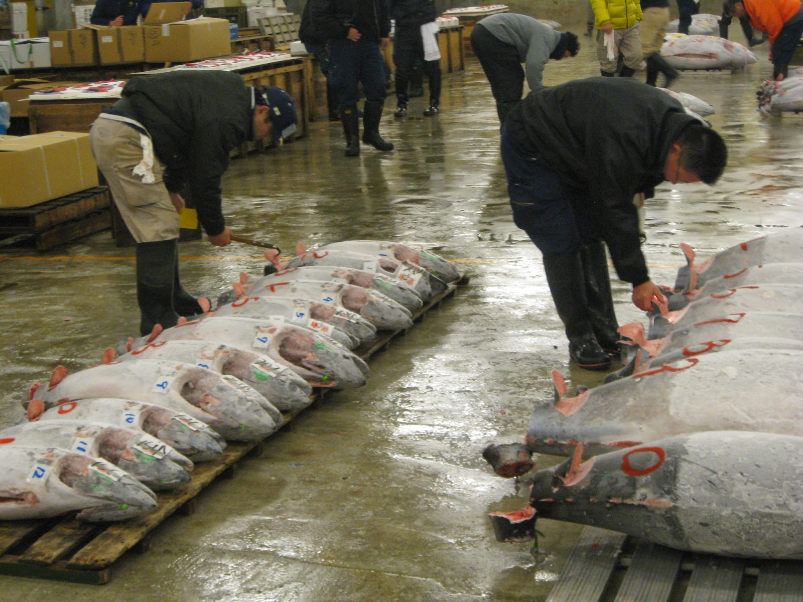 Tokyo - Licensed buyers test the quality of tuna they're interested in