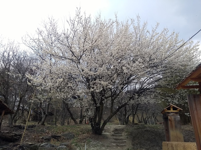 Travel, Trees, Pear, Blossoms