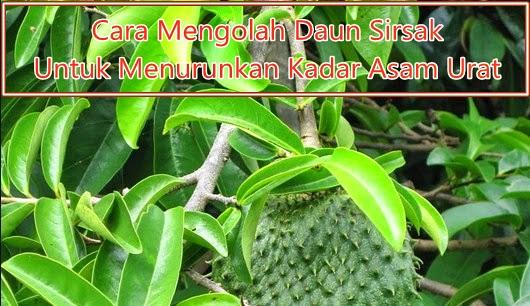 https://qnckapsul.blogspot.com/2018/10/cara-mengolah-daun-sirsak-obat-penurun-asam-urat.html