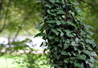 English Ivy herb